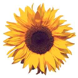 Sunflower, flower for Leo