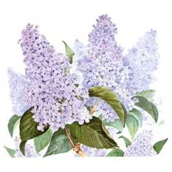 Lilac, by Linda Lord, flower for Gemini