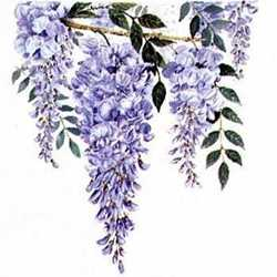 Wisteria, by Linda Lord, flower for Pisces